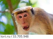 Купить «Toque macaque (Macaca sinica), adult male showing intimidation behaviour, Northwest Coast of Sri Lanka.», фото № 33705948, снято 5 июня 2020 г. (c) Nature Picture Library / Фотобанк Лори