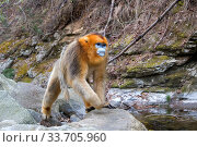 Golden snub-nosed monkey (Rhinopithecus roxellana), near a river, Qinling Mountains, Shaanxi province, China. Стоковое фото, фотограф Sylvain Cordier / Nature Picture Library / Фотобанк Лори
