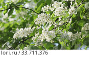Купить «blossoming bird-cherry tree bunch with white flowers and green leaves in a sunny spring day.Focus on medium flowers», видеоролик № 33711376, снято 17 мая 2009 г. (c) Куликов Константин / Фотобанк Лори