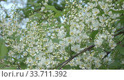 Купить «blossoming bird-cherry tree bunch with white flowers and green leaves in a sunny spring day,Focus on medium flowers», видеоролик № 33711392, снято 17 мая 2009 г. (c) Куликов Константин / Фотобанк Лори