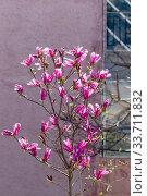 Купить «Magnolia tree (Magnolia liliiflora) grows close-up», фото № 33711832, снято 12 марта 2020 г. (c) Татьяна Ляпи / Фотобанк Лори