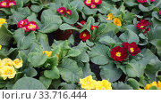 Купить «Green plantation of potted primula plants with bright colorful flowers cultivated in greenhouse», видеоролик № 33716444, снято 8 ноября 2019 г. (c) Яков Филимонов / Фотобанк Лори