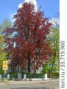 Бук лесной пурпуролистный (Fagus sylvatica L., f. Purpurea) на улице Калининграда. Стоковое фото, фотограф Ирина Борсученко / Фотобанк Лори