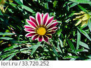 Gazania flower 'Big Kiss White Flame' in the garden. Стоковое фото, фотограф Александр Карпенко / Фотобанк Лори