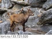 Альпийский козерог, или ибекс (лат.  Capra ibex). Альпийский зоопарк, Инсбрук, Австрия. Стоковое фото, фотограф Сергей Рыбин / Фотобанк Лори