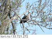 Купить «Большая горлица (лат. Streptopelia orientalis). Птица сидит на ветвях ильма, Приморский край.», фото № 33721272, снято 7 мая 2020 г. (c) syngach / Фотобанк Лори
