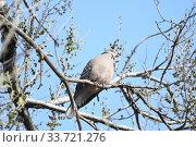 Купить «Большая горлица (лат. Streptopelia orientalis). Птица сидит на ветвях ильма, Приморский край.», фото № 33721276, снято 7 мая 2020 г. (c) syngach / Фотобанк Лори