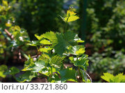 Купить «Grapevine in spring», фото № 33721860, снято 1 мая 2020 г. (c) Марина Володько / Фотобанк Лори