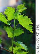 Купить «Grapevine in spring», фото № 33721896, снято 1 мая 2020 г. (c) Марина Володько / Фотобанк Лори
