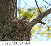 Купить «Chick with open beak in nest waiting for food», фото № 33724564, снято 19 мая 2019 г. (c) Куликов Константин / Фотобанк Лори