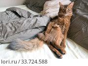 Купить «Fluffy red cat with green eyes (Somali breed) sits leaning on pillows», фото № 33724588, снято 26 июня 2019 г. (c) Куликов Константин / Фотобанк Лори