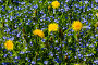 Купить «Spring meadow with blooming dandelions and blue veronica on a sunny day, closeup», фото № 33736200, снято 16 мая 2019 г. (c) Наталья Волкова / Фотобанк Лори