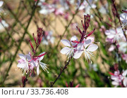 Купить «Spring flowering decorative Gaura lindheimeril», фото № 33736408, снято 7 мая 2020 г. (c) Irina Opachevsky / Фотобанк Лори
