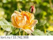 Rosa 'Autumn Sunset' Breeder : Lowe 1988. Стоковое фото, фотограф Alain Kubacsi / age Fotostock / Фотобанк Лори