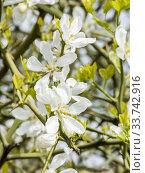 Poncirus trifoliata. Стоковое фото, фотограф Alain Kubacsi / age Fotostock / Фотобанк Лори