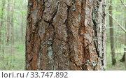 Купить «Pine bark on tree in the wood. outdoor landscape», видеоролик № 33747892, снято 11 мая 2020 г. (c) Ильин Сергей / Фотобанк Лори
