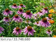 Купить «Эхинацея пурпурная (лат. Echinacea purpurea) цветет на клумбе в саду», фото № 33748680, снято 28 июля 2019 г. (c) Елена Коромыслова / Фотобанк Лори