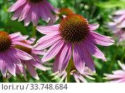 Купить «Эхинацея пурпурная (лат. Echinacea purpurea) крупным планом», фото № 33748684, снято 28 июля 2019 г. (c) Елена Коромыслова / Фотобанк Лори