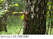 Купить «Рыжий бельчонок на дереве», фото № 33749040, снято 7 июня 2020 г. (c) Evgenia Shevardina / Фотобанк Лори