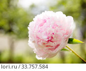 One large pale pink peony flower of the variety Sarah Bernhardt. Стоковое фото, фотограф Юлия Бабкина / Фотобанк Лори