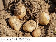 Купить «Harvesting fresh potatoes in the field», фото № 33757588, снято 4 сентября 2019 г. (c) Юлия Бабкина / Фотобанк Лори