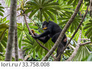 Bonobo (Pan paniscus) female feeding in tree, Democratic Republic of Congo. Part of a family group monitored by Projet PICBOU, community-led ecotourism... Стоковое фото, фотограф Karine Aigner / Nature Picture Library / Фотобанк Лори