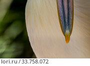 Купить «Close up of the bill of an Australian pelican (Pelecanus conspicillatus). Adelaide zoo Adelaide, South Australia, Australia», фото № 33758072, снято 31 мая 2020 г. (c) Nature Picture Library / Фотобанк Лори