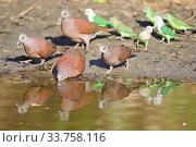 Купить «Madagascar turtle dove (Nesoenas picturatus) and Grey-headed lovebird (Agapornis canus) drinking at waterhole, Kirindy forest Private reserve, Madagascar.», фото № 33758116, снято 10 июля 2020 г. (c) Nature Picture Library / Фотобанк Лори