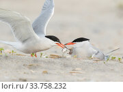 Купить «Common Tern (Sterna hirundo) pair, one adult feeds a fish to chick while the other adult broods chick, Nickerson Beach, Long Island, New York, USA», фото № 33758232, снято 26 мая 2020 г. (c) Nature Picture Library / Фотобанк Лори