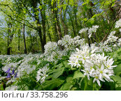 Wild garlic / Ramsons (Allium ursinum) carpeting woodland floor in spring, Wiltshire, UK, April. Стоковое фото, фотограф Nick Upton / Nature Picture Library / Фотобанк Лори