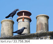 Купить «Jackdaw (Corvus monedula) pair bringing small sticks and leaves in their beaks for lining their nest in a chimney with, Wiltshire, UK, March.», фото № 33758364, снято 4 июня 2020 г. (c) Nature Picture Library / Фотобанк Лори