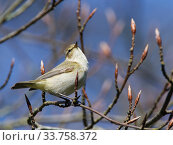 Купить «Chiffchaff (Phylloscopus collybita) singing while perched in a Beech tree (Fagus sylvatica) with unopened leaf buds in a garden, Wiltshire, UK, March.», фото № 33758372, снято 5 июня 2020 г. (c) Nature Picture Library / Фотобанк Лори