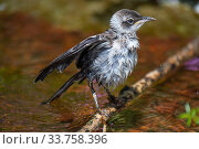 Купить «Galapagos mockingbird (Mimus parvulus) fledgling bathing in photographer Tui De Roy's garden, Santa Cruz Island, Galapagos Islands», фото № 33758396, снято 5 июня 2020 г. (c) Nature Picture Library / Фотобанк Лори