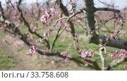 Купить «Scenic view of fruit orchard with blooming peach trees», видеоролик № 33758608, снято 21 февраля 2020 г. (c) Яков Филимонов / Фотобанк Лори