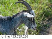 Купить «Домашний серый рогатый козел (лат. Capra aegagrus hircus) летом на пастбище крупным планом», фото № 33759256, снято 26 августа 2019 г. (c) Малышев Андрей / Фотобанк Лори
