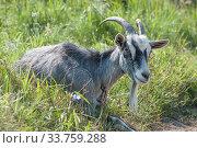 Купить «Рогатый домашний серый козел (лат. Capra aegagrus hircus) летом на пастбище», фото № 33759288, снято 26 августа 2019 г. (c) Малышев Андрей / Фотобанк Лори