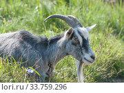 Купить «Рогатый домашний серый козел (лат. Capra aegagrus hircus)», фото № 33759296, снято 26 августа 2019 г. (c) Малышев Андрей / Фотобанк Лори