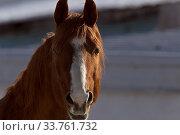 Купить «Horse in Winter in Alberta Canada Brown», фото № 33761732, снято 11 июля 2020 г. (c) age Fotostock / Фотобанк Лори