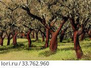 Купить «Alcornoques descorchados,Quercus suber,Os Almendres, distrito de Evora, Alentejo, Portugal, europa.», фото № 33762960, снято 5 июня 2020 г. (c) easy Fotostock / Фотобанк Лори