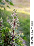Купить «The useful nettle (Urtica), growing in a meadow», фото № 33774868, снято 7 марта 2020 г. (c) Татьяна Ляпи / Фотобанк Лори