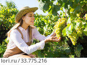 Female gathering harvest of white grapes. Стоковое фото, фотограф Яков Филимонов / Фотобанк Лори