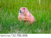 Купить «Little herbivorous burrowing rodents in the grassland of the preserve park», фото № 33786908, снято 1 июня 2020 г. (c) easy Fotostock / Фотобанк Лори