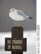Купить «Ring-billed Gull (Larus delawarensis) perched on a 'No Fishing' sign, New York, USA», фото № 33793880, снято 2 июня 2020 г. (c) Nature Picture Library / Фотобанк Лори