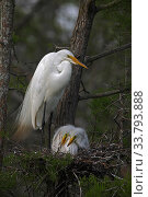 Купить «Great egret (Ardea alba) with chicks on nest, Louisiana, USA», фото № 33793888, снято 25 мая 2020 г. (c) Nature Picture Library / Фотобанк Лори