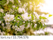 Branch of blossoming apple tree. Стоковое фото, фотограф Юлия Бабкина / Фотобанк Лори