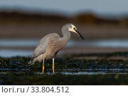 White-faced heron (Egretta novaehollandiae) standing in the water in the intertidal zone (shoreline) of Port Philip Bay, looking for food. Ricketts Point, Beaumaris, Victoria, Australia. May. Стоковое фото, фотограф Doug Gimesy / Nature Picture Library / Фотобанк Лори