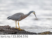 Купить «White-faced heron (Egretta novaehollandiae) looking for food on the sea shore. Ricketts Point, Beaumaris, Victoria, Australia. May.», фото № 33804516, снято 11 июля 2020 г. (c) Nature Picture Library / Фотобанк Лори