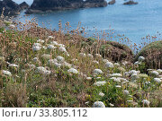 Купить «Wild Sea carrot (Daucus carota subsp. gummifer) flowering on cliffs in South Devon, England, UK, July», фото № 33805112, снято 25 мая 2020 г. (c) Nature Picture Library / Фотобанк Лори