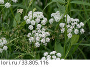 Ground elder, goutweed / bishop's weed, (Aegopodium podograria... Стоковое фото, фотограф Nigel Cattlin / Nature Picture Library / Фотобанк Лори