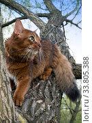 Купить «Fluffy red cat (breed Somali) in the park, sitting in a fork in a tree», фото № 33805388, снято 12 мая 2019 г. (c) Куликов Константин / Фотобанк Лори